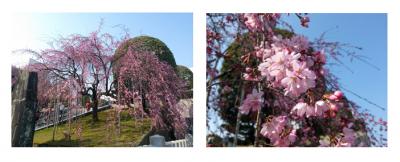 さかえの宮しだれ桜
